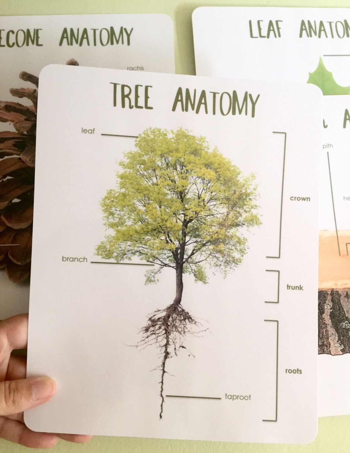 Anatomy of a tree cards perfect for our nature study | Montessori: 3 ...