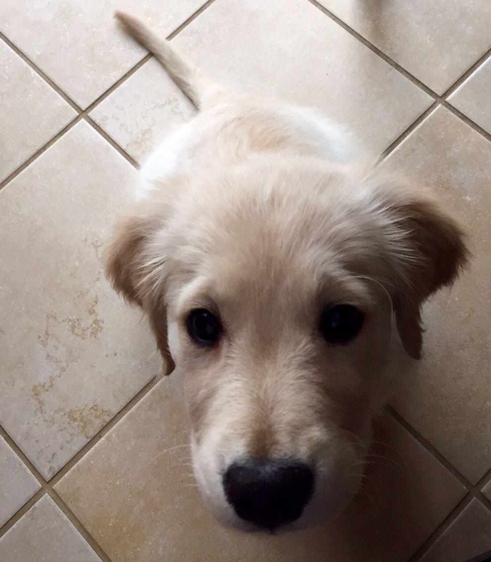 Kenai the english creme golden retriever pup golden