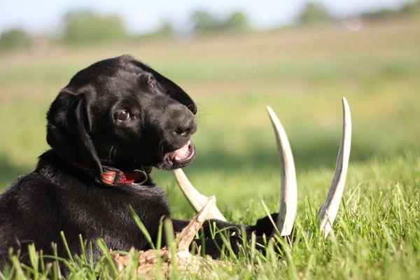 The Basics Of Shed Dog Training North American Whitetail Dog