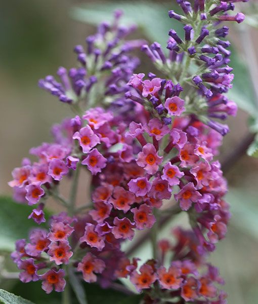 Buddleja Weyeriana Bicolor Butterfly Bush Syn Buddleja Flower Power Garden Landscapesmatterings Butterfly Bush Garden Shrubs Flowers