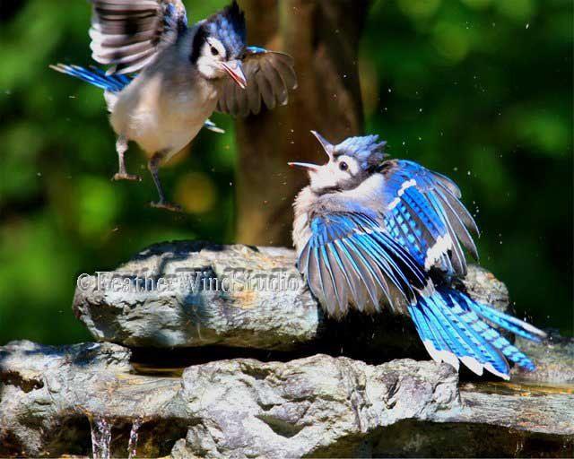Blue Jays | Summer Bird Photography | Bird Landing | Blue Feather Photo Art | Sibling Rivalry | Bathing Bird | Avian Home Decor | 8x10 Print by FeatherWindStudio on Etsy