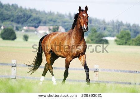 beautiful chestnut horse stallion running in nature