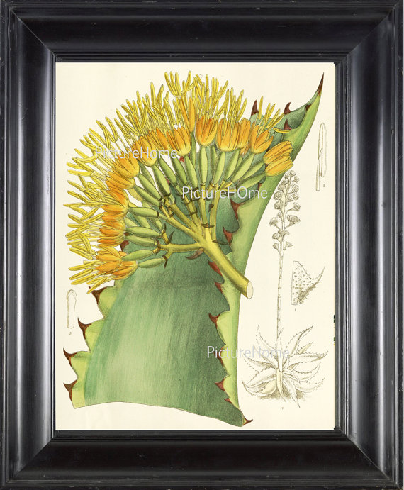 Botanical Print Aloe Cactus B4 Beautiful 8X10 Large Antique Blooming ...