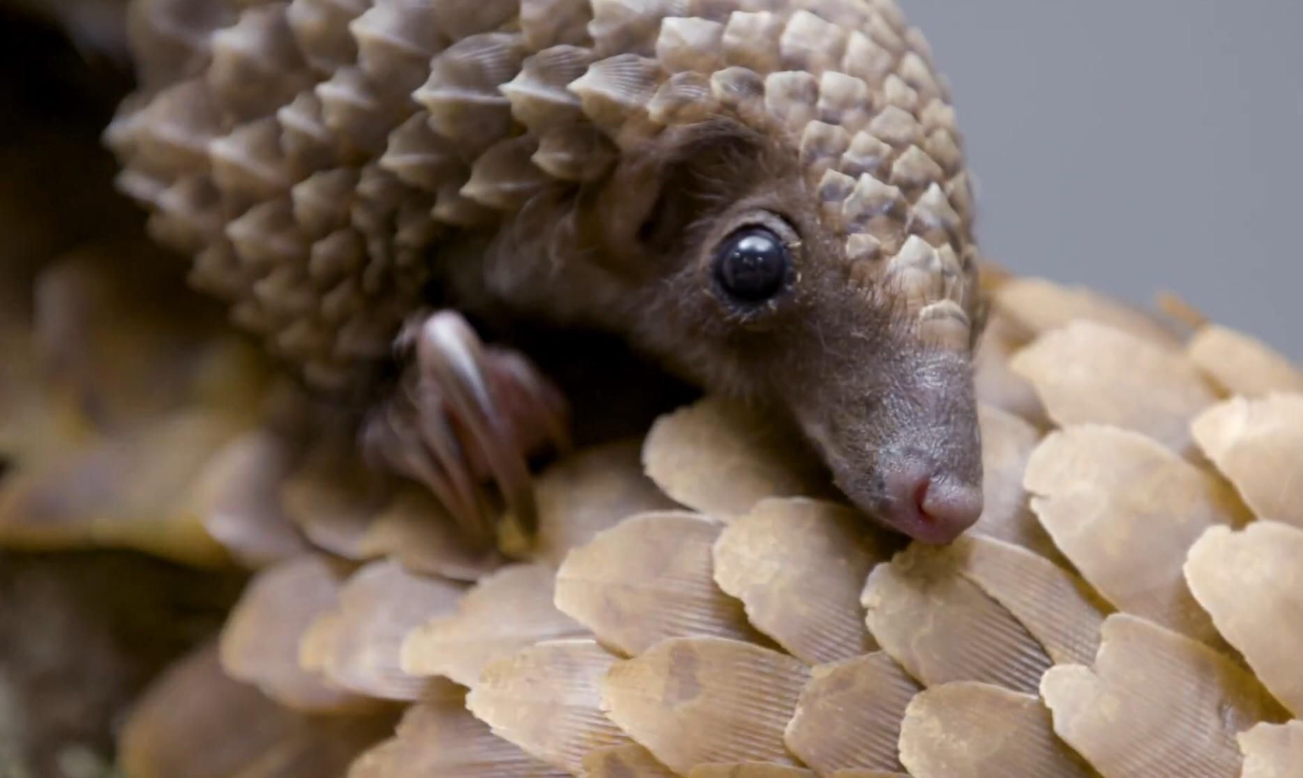 The worlds only scaled mammal meet the Tree Pangolin http