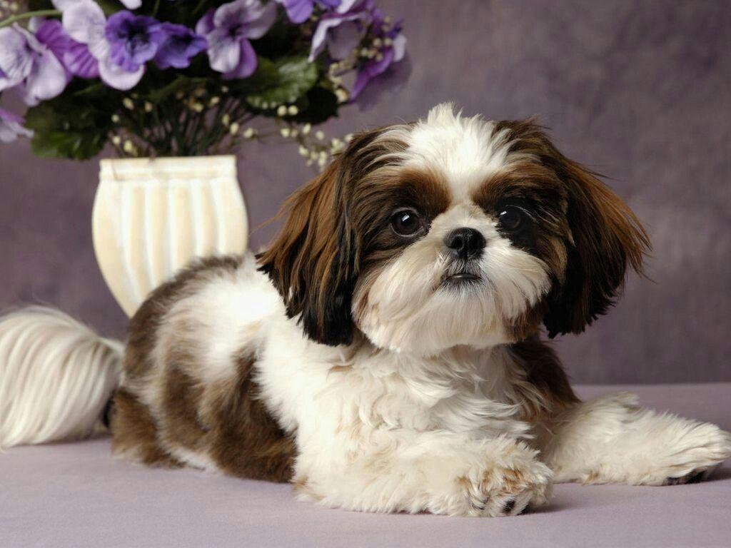 Shih tzu haircut styles pin by lamyia travus on cute animals  pinterest  animal