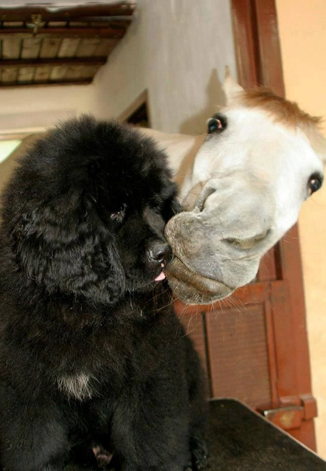 Well Hello Dog Newfoundland Dog And Affectionate Horse