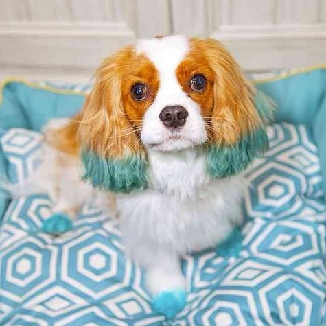 Kinglsey The Cavalier Is Looking Sharp In Blue Petexpressions