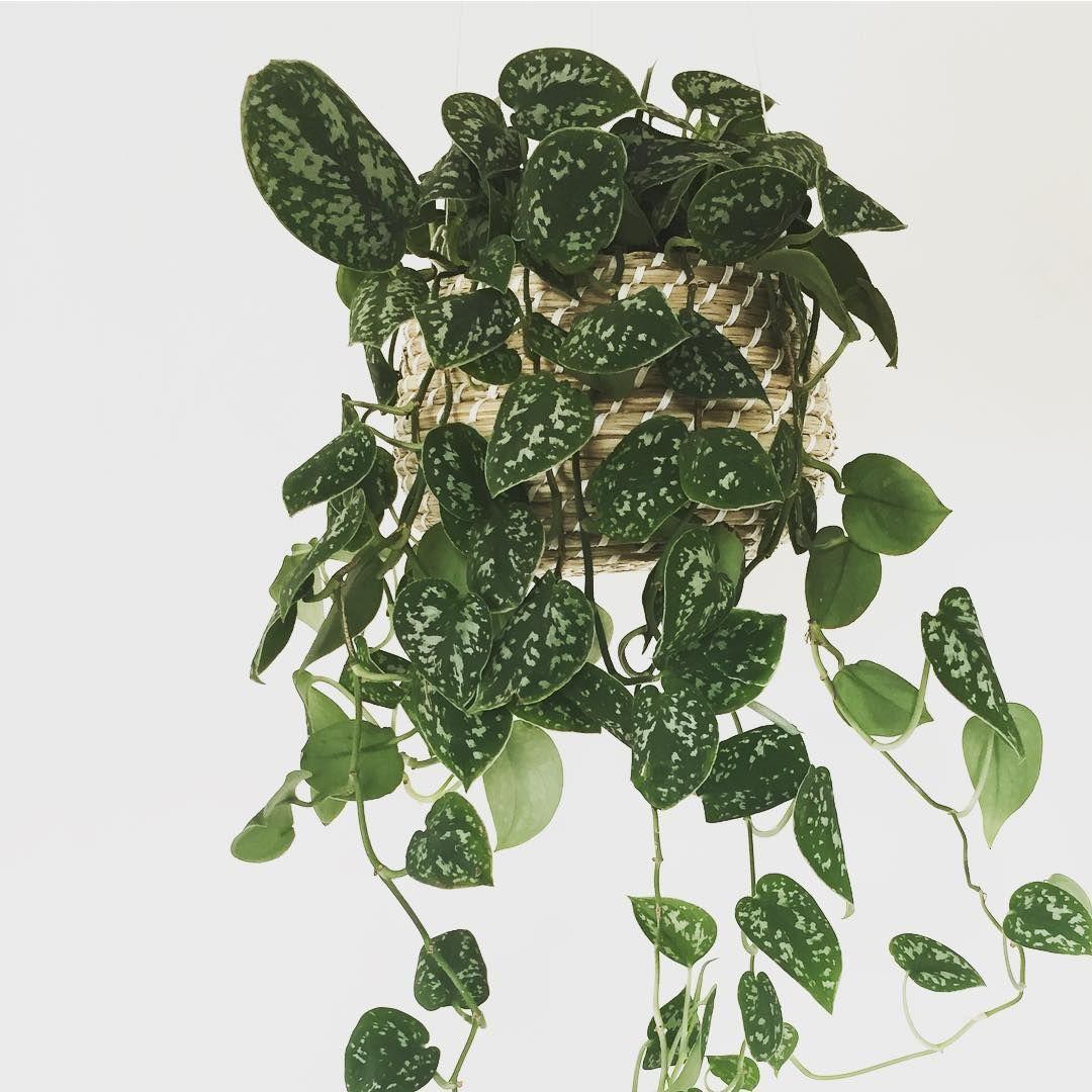 Ongekend scindapsus pictus argyraeus | a favorite: green - Kamerplanten EH-41