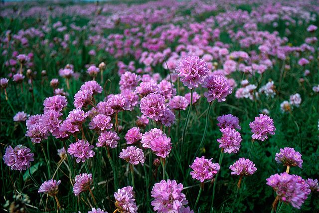 Sea pinks by bob ford via geograph wanna plant pinterest bobs sea pink flowers growing on ham beach on the western shore of portland harbour mightylinksfo
