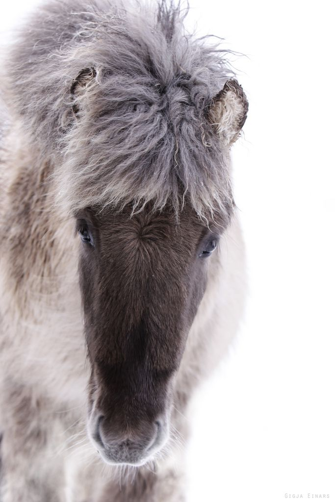 Kuldi, Fuzzy cute Icelandic Horse. By Gigja Einarsdottir