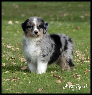 Mott Ranch Australian Shepherd Puppies Aussie Puppies Aussie Dogs Australian Shepherd Puppies