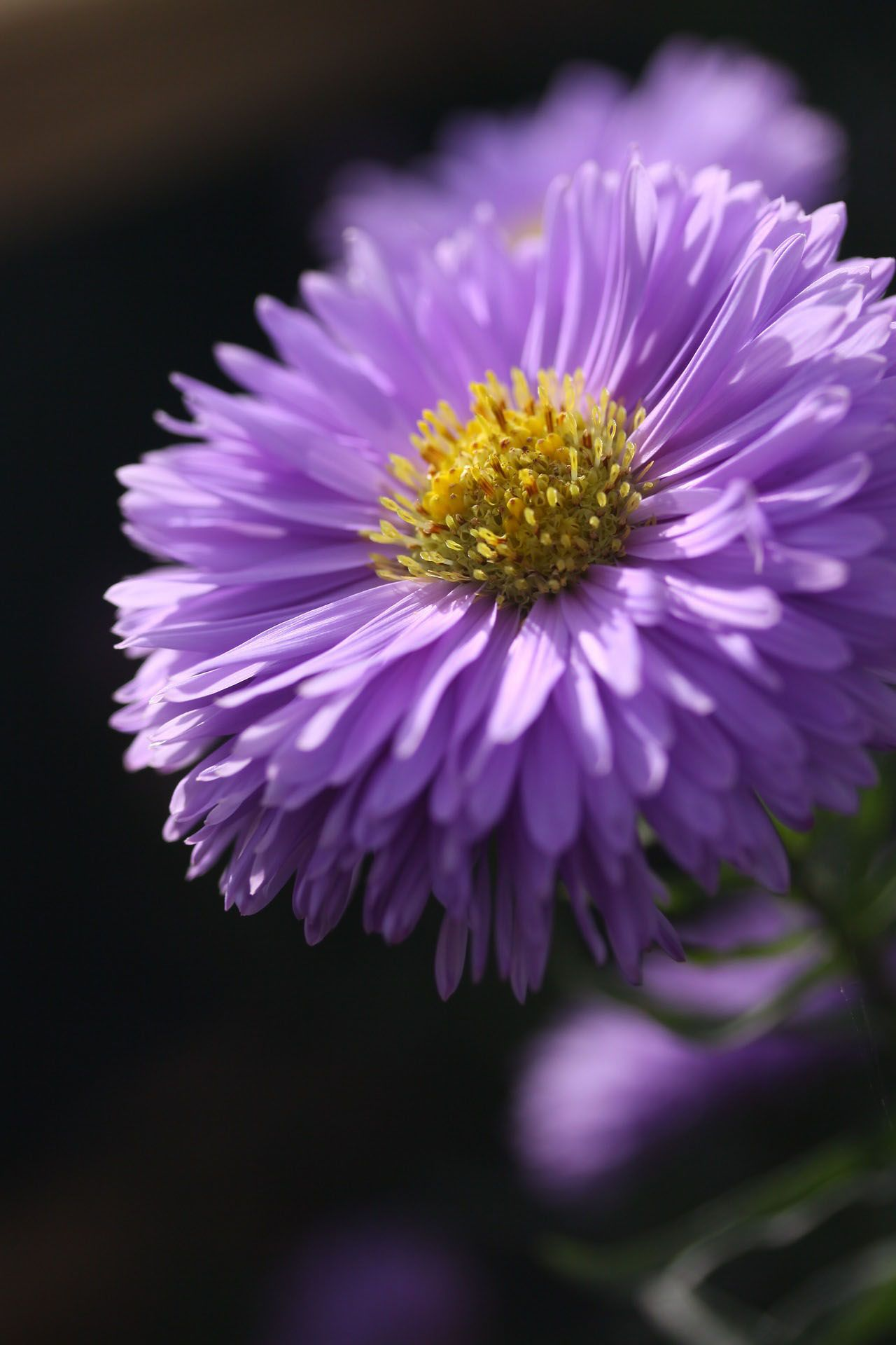 Account Suspended Aster Flower Beautiful Flowers Pictures Flower Photos
