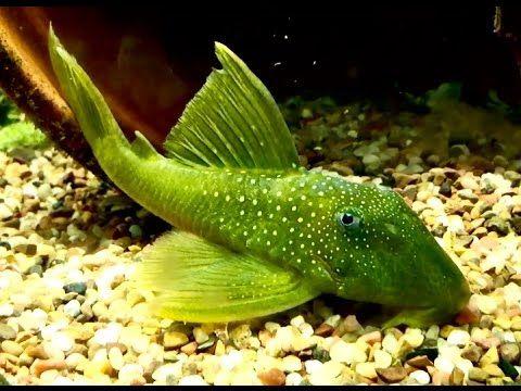 New Pleco Breeding Project, The Green Phantom Project!!   Aquarium