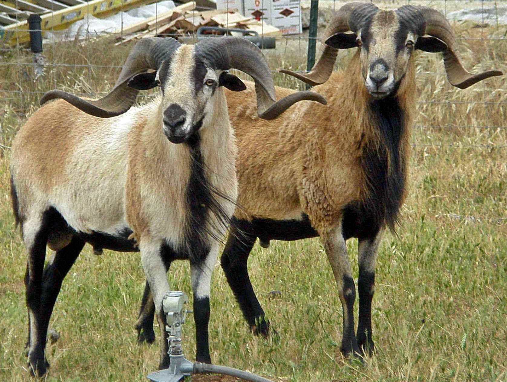 sheep breeds in pakistan pdf