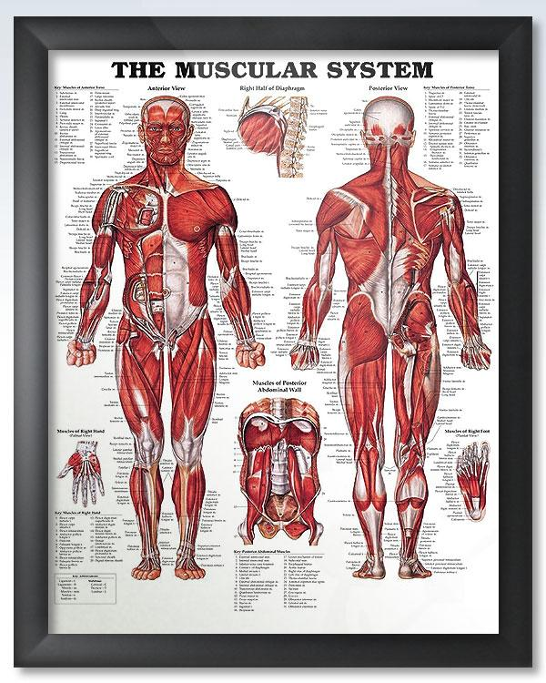 The Muscular System Chart 20x26 Products Pinterest Muscular
