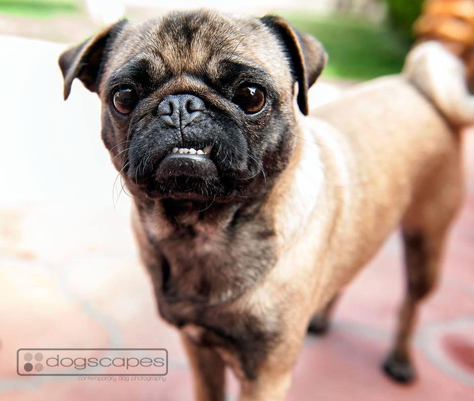 Pug Underbite Dogscapes Com San Diego Modern Dog Photography