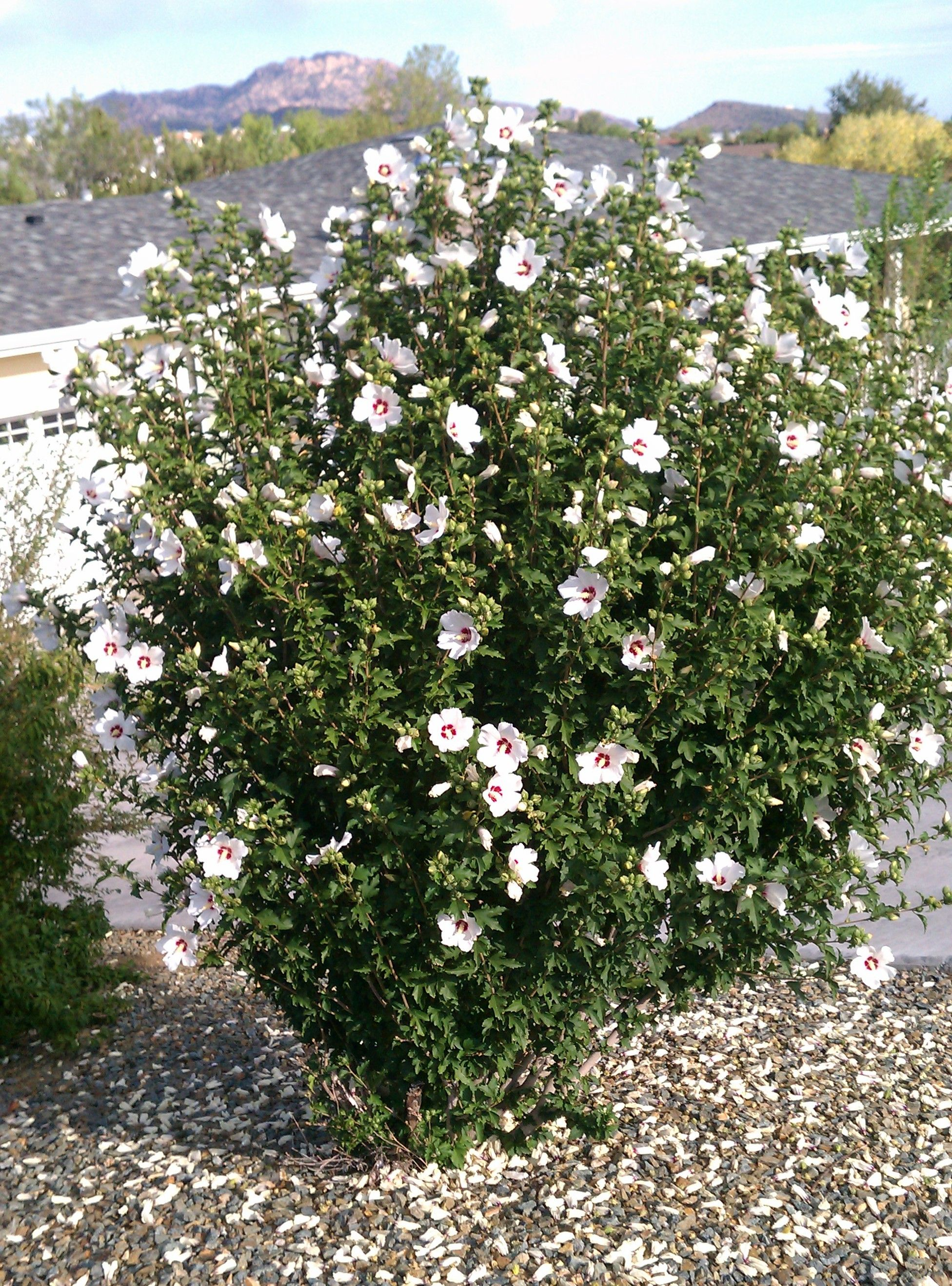 Typical shape of rose of sharon typical color for for Typical landscaping plants