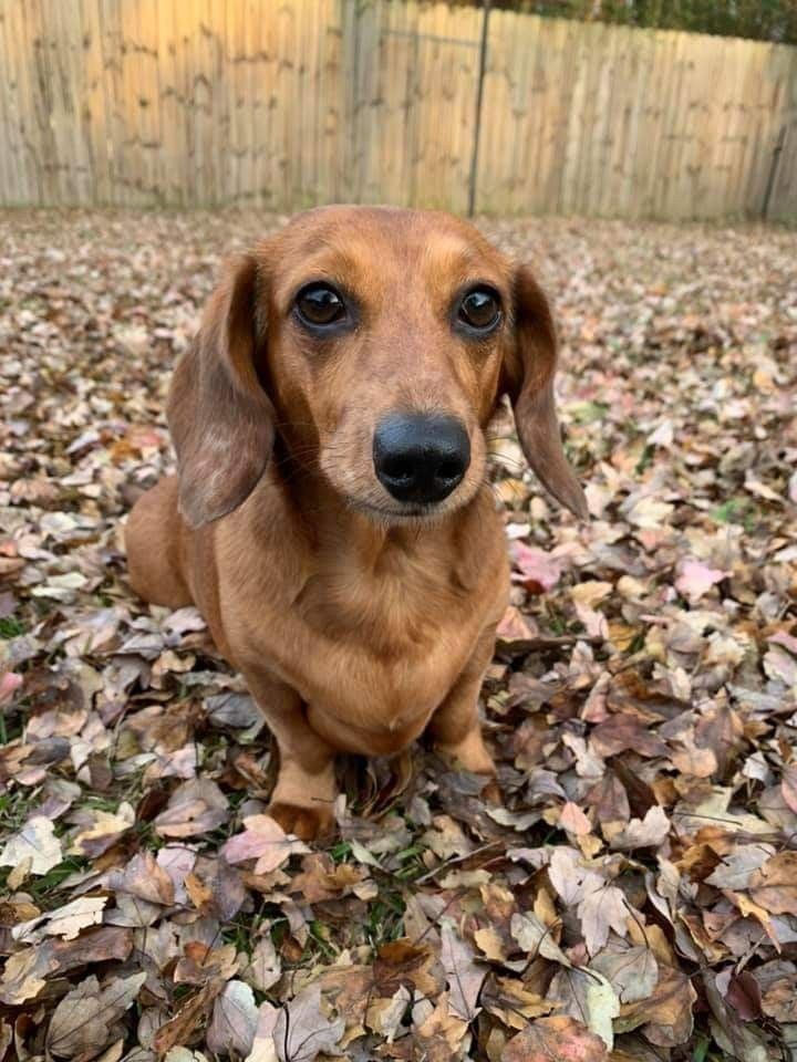 Pin By Post Civil Trends On Teckel Dachshund Puppy Miniature