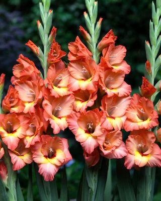 Celine Gladioli Bulbs Medium Flowering Gladioli Bulbs Buy Gladioli Flower Bulbs Online Bloms Bulbs Uk An Gladiolus Flower Bulb Flowers Gladiolus Bulbs