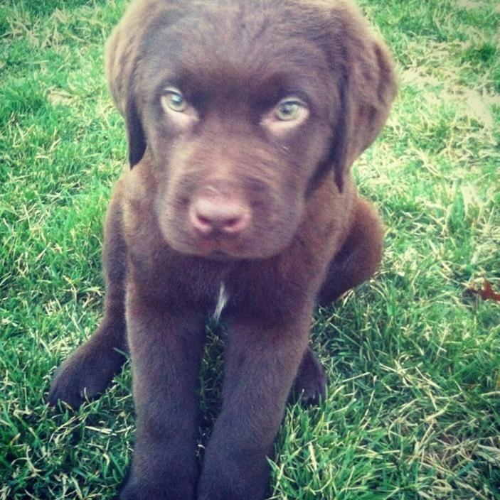 Meet Moose My Newfoundland Lab Mix Puppy Lab Mix Puppies