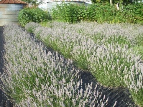 A Beautiful Lavender Farm In Oklahoma Lavender Valley Acres Is Serene And Stunning Lavender Farm Lavender Plant Growing Lavender