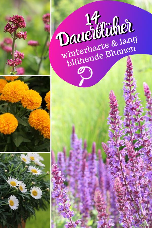 14 winterharte & lang blühende Blumen | Dauerblüher