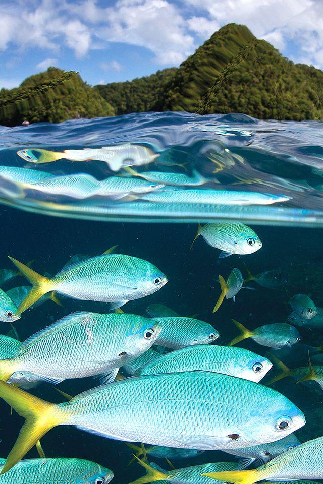 Malakal Fish Wallpaper Fish Ocean Iphone Wallpaper Palau Islands Fishing Photo Palau
