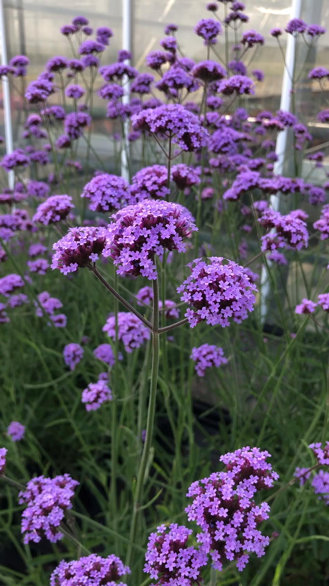 Verbena bonariensis Violetta – a beautiful addition to a herbaceous border
