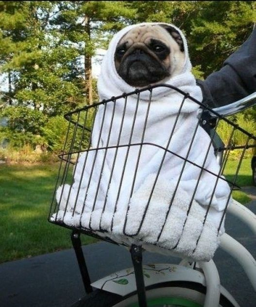 And here's ET in a basket. Wait, no, maybe not. I CAN'T TELL. | 14 Pugs That Are Masters Of Disguise