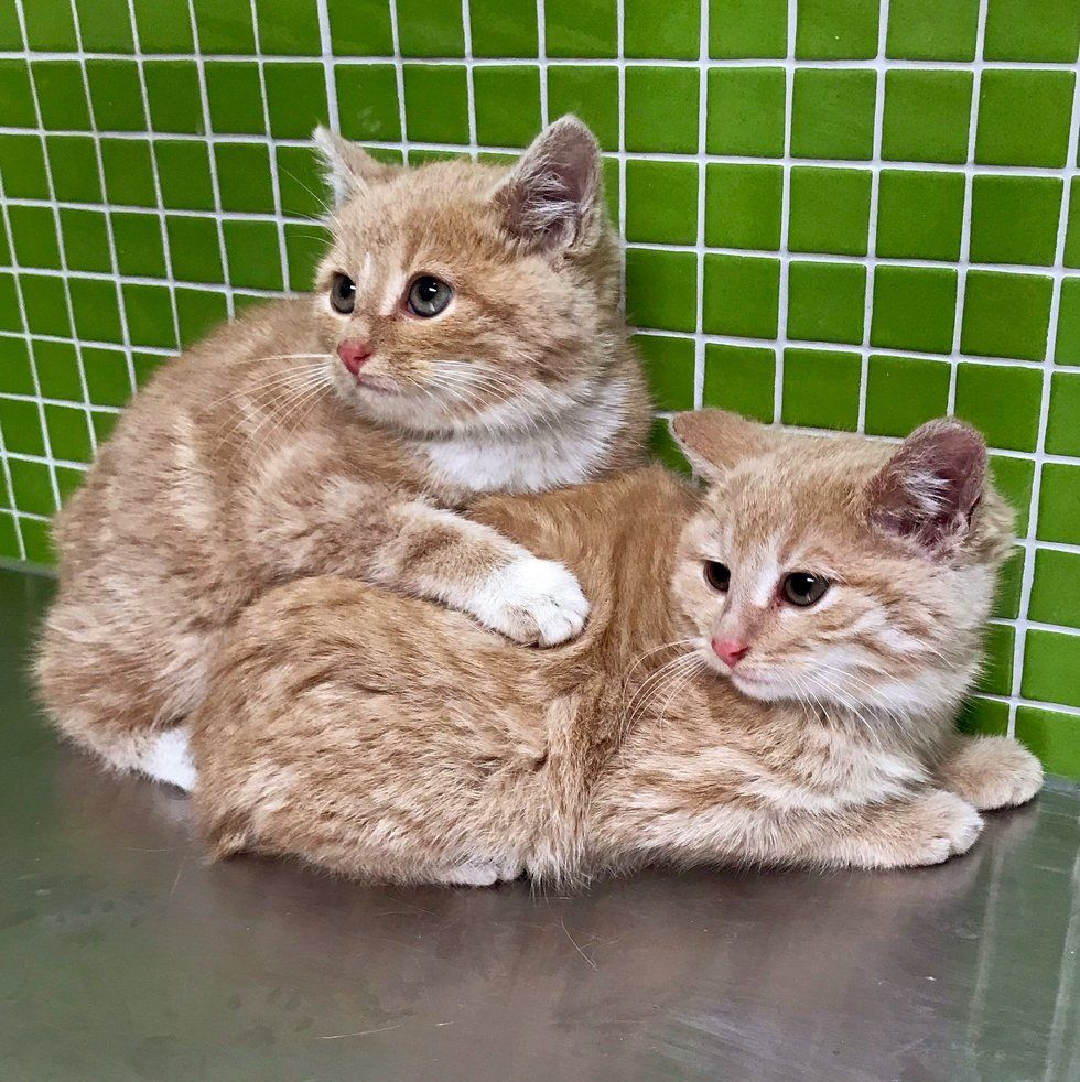 Kittens Found Wandering Into Workplace Together Won T Leave Each Other S Side Animal Shelters Near Me Cat Cats Kittens Animal Shelters Near Me