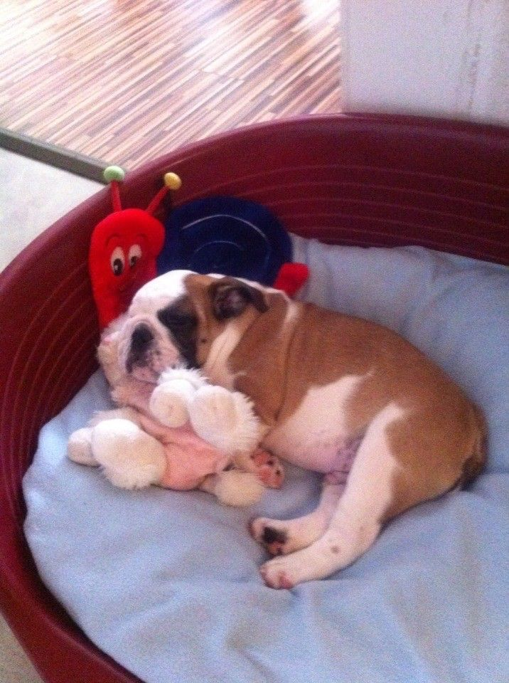 Pin By Lynne Ayscue On Bulldogs English Bulldog Lover Bulldog