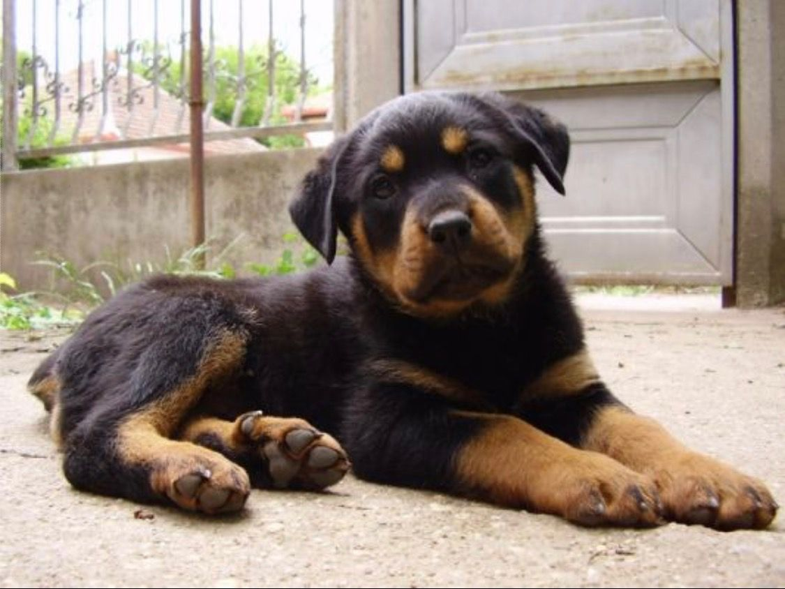 Rottweiler Rottweiler Puppies Rottweiler Dog Puppies