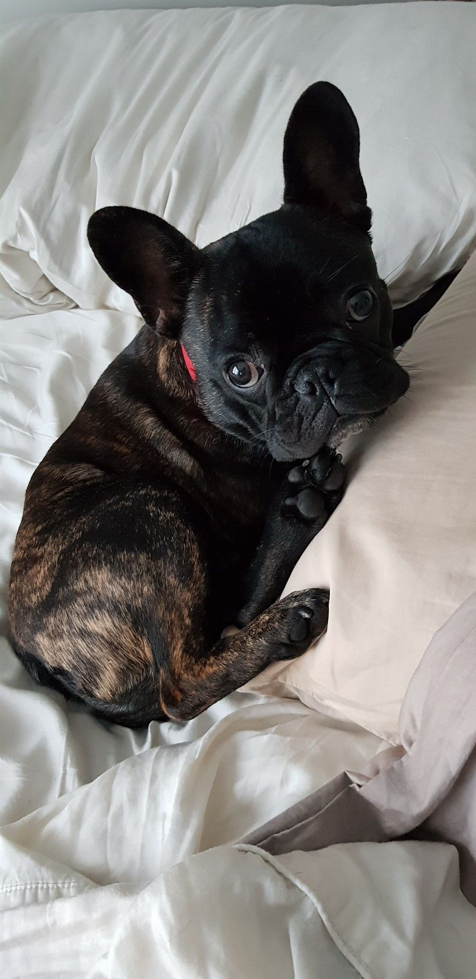Pin By Bev On Dogs Puppies French Bulldog Puppies Baby Animals