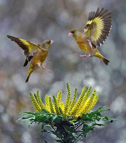 Grey-capped Greenfinches, photograph by John Fish