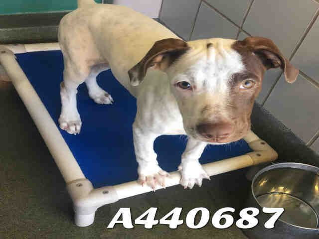This Dog A440687 Urgent San Antonio Animal Care Services In