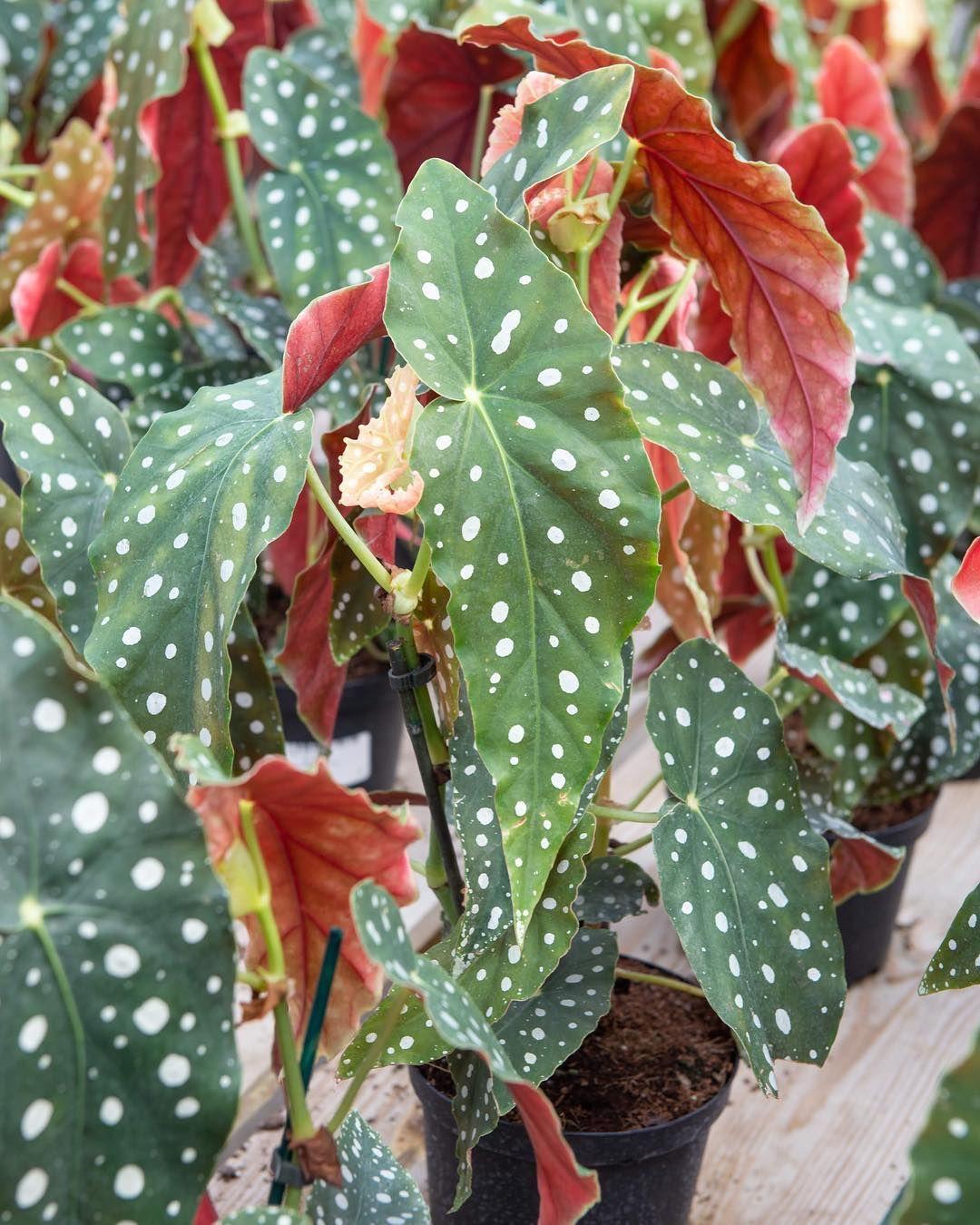 Begonia Maculata Showing Off Those Beautiful Spots Begonia Maculata Beautiful Spots Begonia
