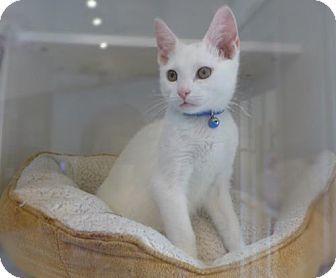 Westampton Nj American Shorthair Meet Fletcher A Kitten For Adoption Kitten Adoption American Shorthair Cat American Shorthair