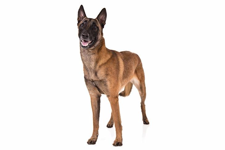 Belgian Malinois Dog Breed Information In 2020 Malinois Dog Dog