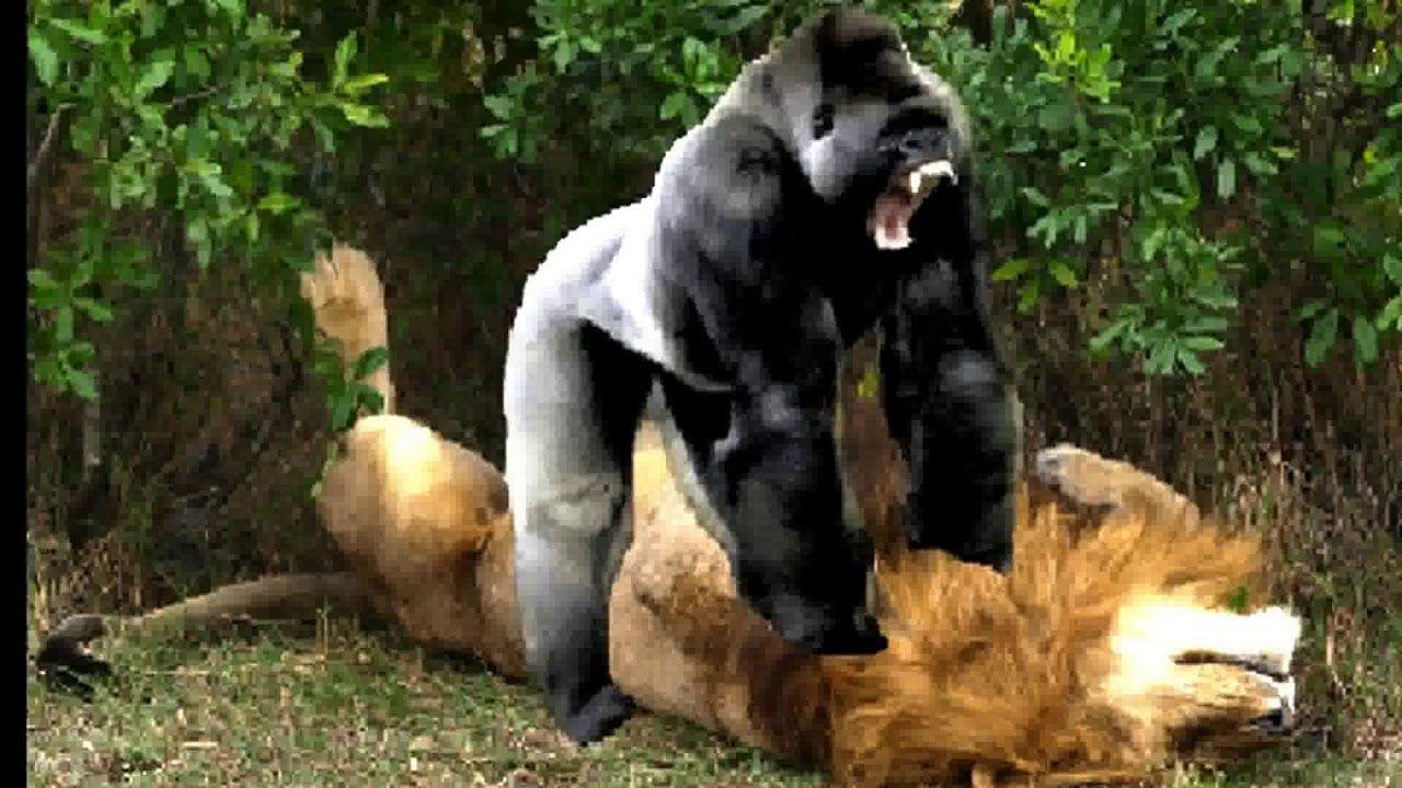 DTQ_Video African Animals, Wild Animals Fighting Lion vs