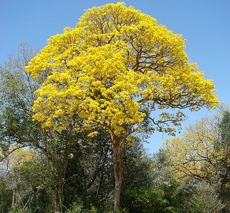 Golden trumpet tree tabebuia native to fl golden trumpet tree golden trumpet tree tabebuia native to fl golden trumpet tree golden tabebuia tabebuia chrysantha mightylinksfo