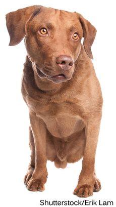 Chesapeake Bay Retriever Dog Breed Dog Breeds Dogs I Love Dogs