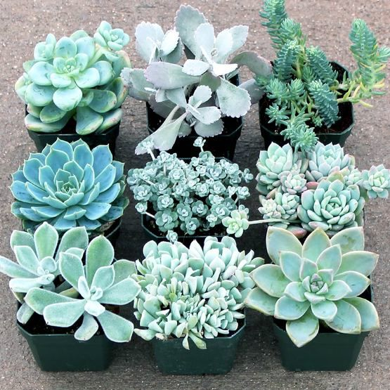 A selection of frosty colored succulents in shades of white, cream, pale greens, grays, and blues. Makes beautiful wintery holiday centerpieces and decorations.
