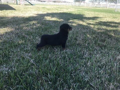 Rottweiler Puppy For Sale In Richmond Tx Adn 25198 On