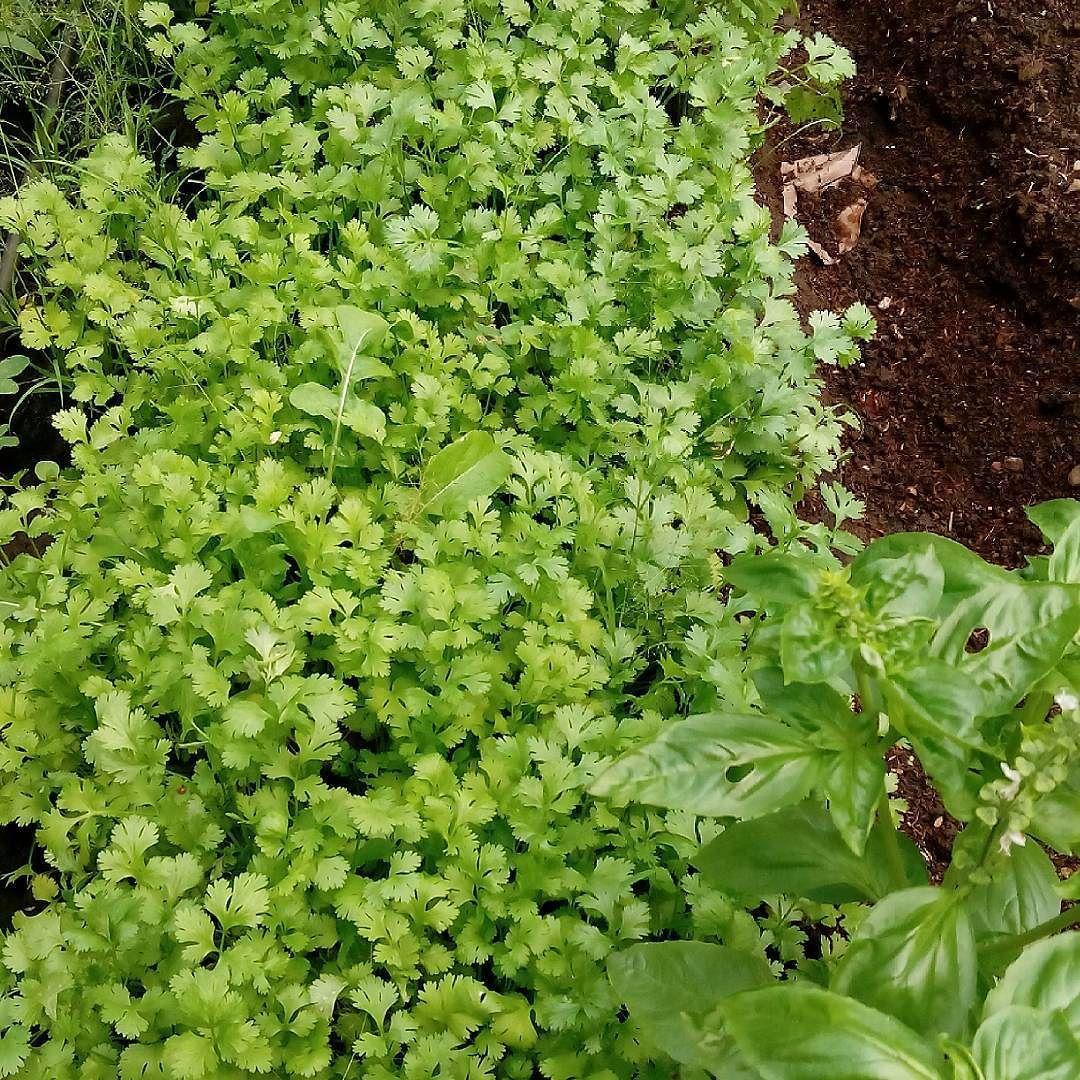 """Cilantro. Coriander #organic  #demifinca #healthyeating #farmtofamily #farmtotable #farmtofork"" via @danildmt"