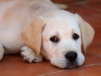 Mini Labrador Or Miniature Labrador Retriever The Labrador