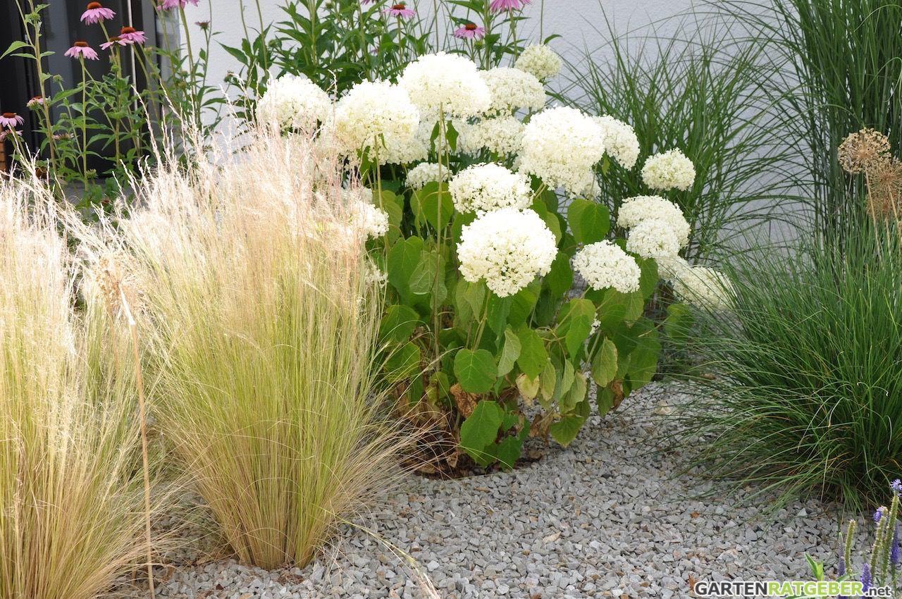 federgras hortensie sonnenhut garten garten gras und pflanzen. Black Bedroom Furniture Sets. Home Design Ideas