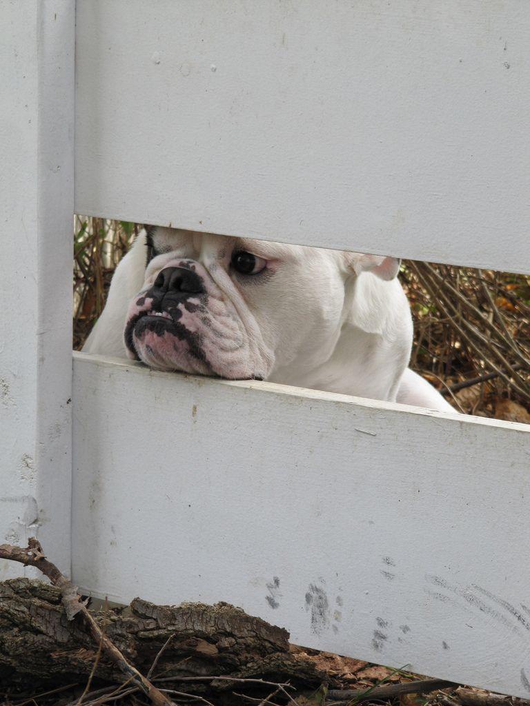 English bulldog love Über cute pinterest english bulldogs