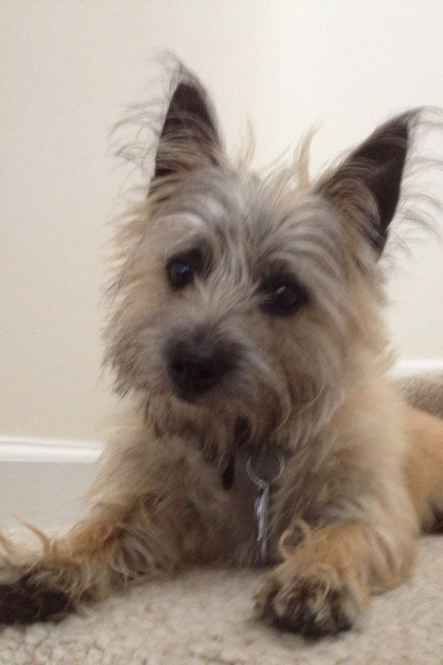 Looks Like My Coco After A Bath Cairn Terrier Norwich