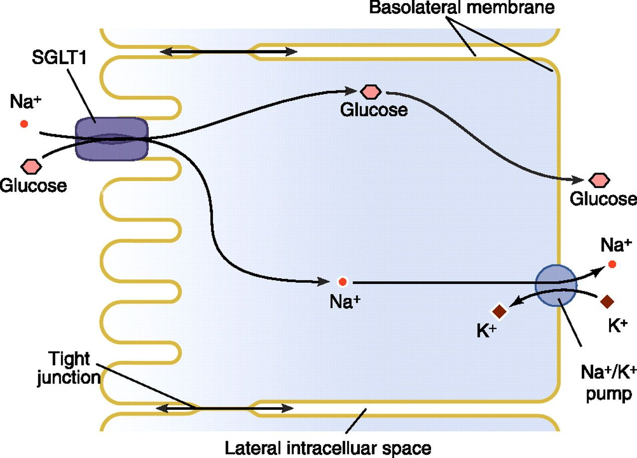 Sglt Cotransporter  Atp Dependent  Transports Glucose And