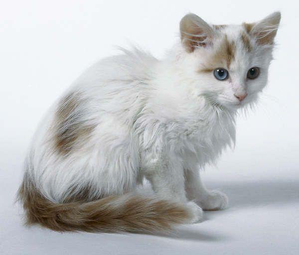 Turkish van cat ginger